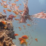 Red Sea, Aqaba, Lionfish