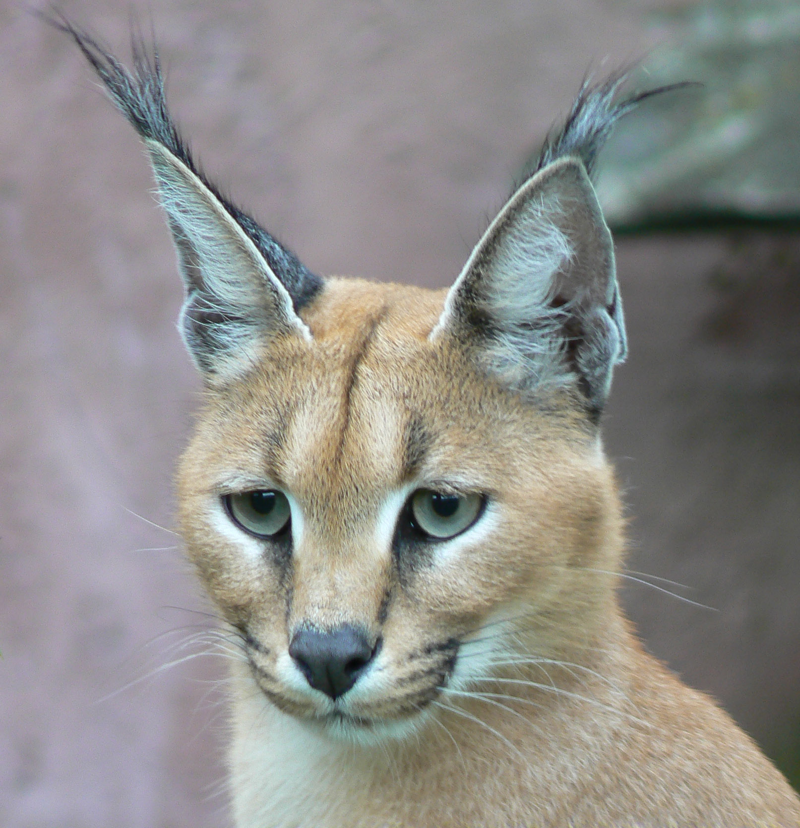 Caracal, wild animal wadi mujib