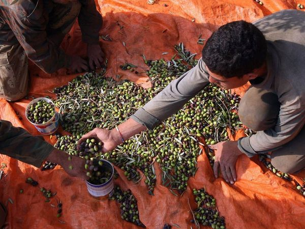 Ajloun farmers picking olives jordan