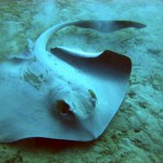 stingray aqaba red sea jordan