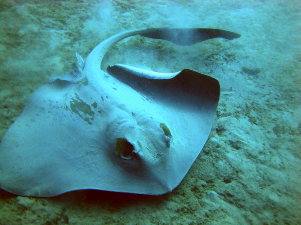 feather tailed stingray, aqaba marine park, jordan