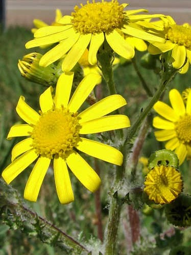 eastern groundsel, wild flowers of Jordan
