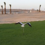 flamingo in aqaba