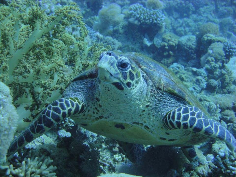 hawksbill turtle, Aqaba, Red Sea, Jordan